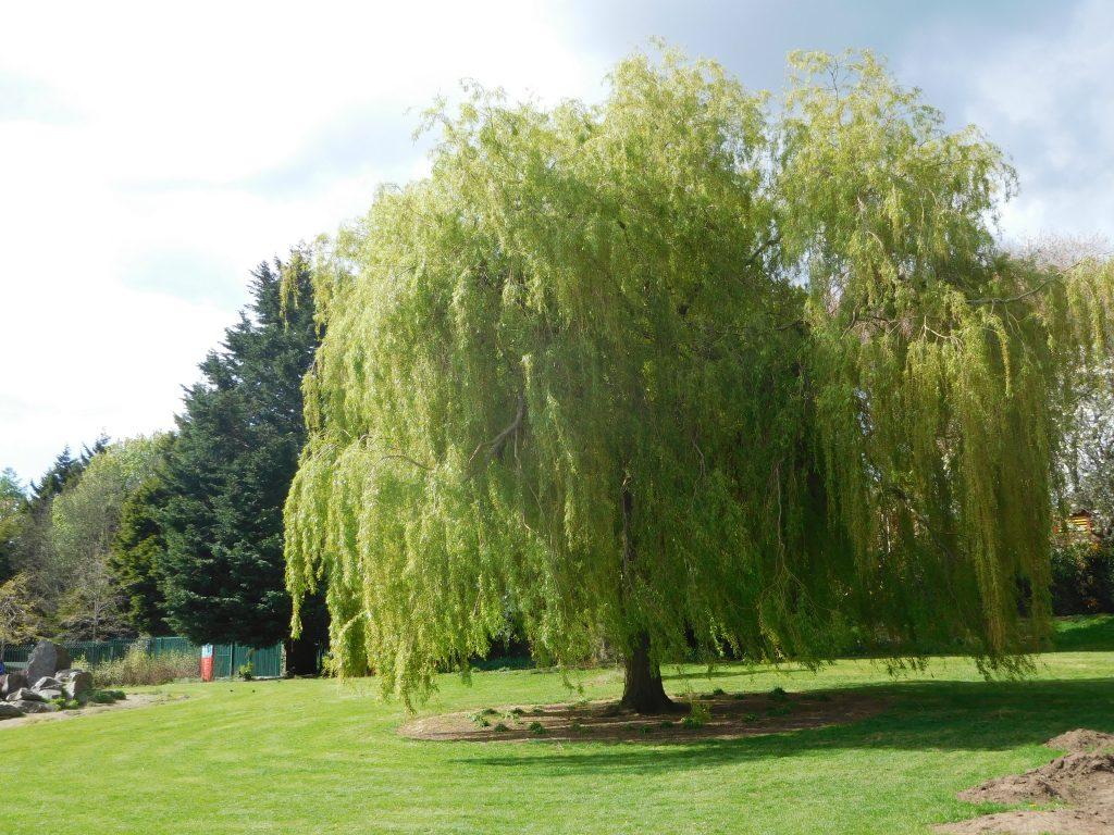 Botanic Gardens Belfast - Willow Tree