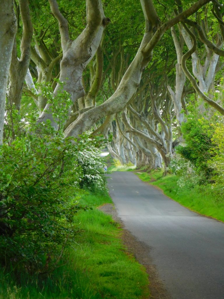 Dark Hedges canopy of branches