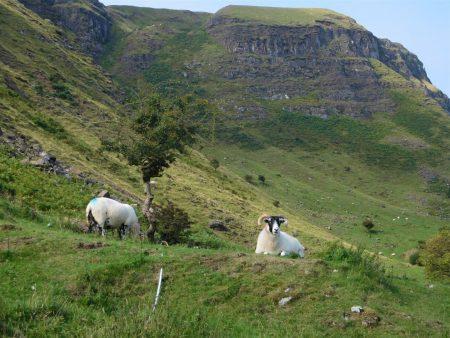 Sheep and Antrim glens